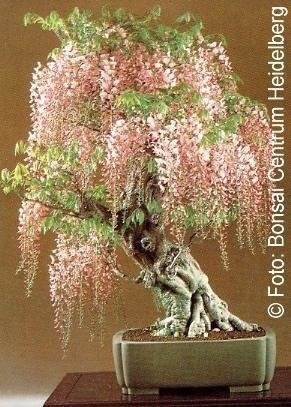 Bonsai - Chinese Wisteria, 4pcs
