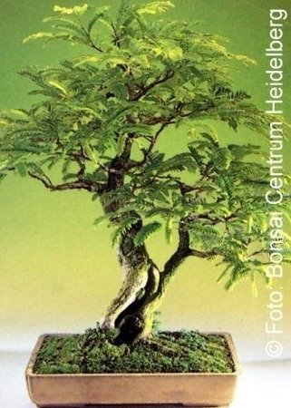 Bonsai - Tamarind, 4szt